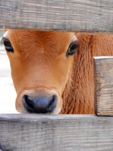 cow in fence